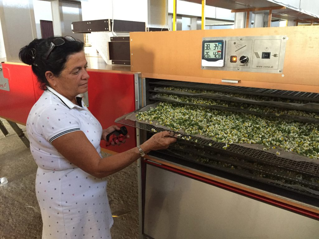 Eine kubanische Frau zeigt Kamillenblüten in der Trocknungsanlage.